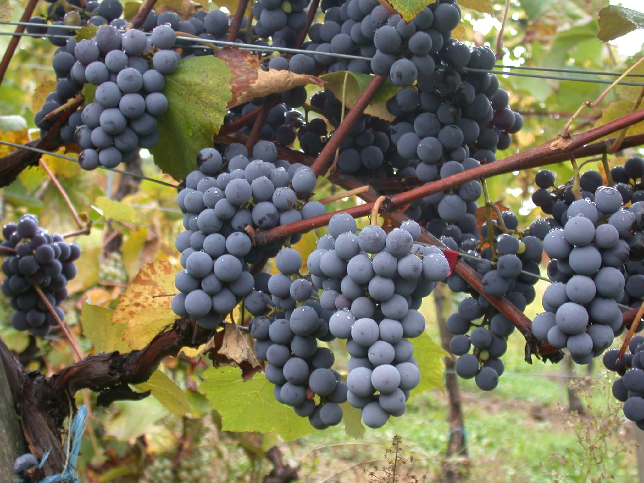 Cannonau, il vino sardo che arriva dai nuraghi